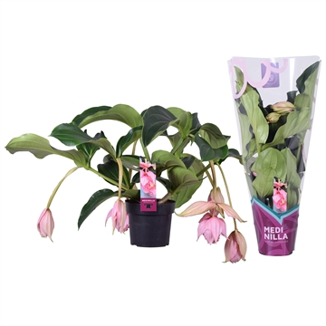 Medinilla magnifica 2 etage 6 flower buds in X-clusive sleeve