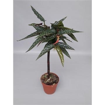 Begonia 'Tamaya' wit zonder bloem