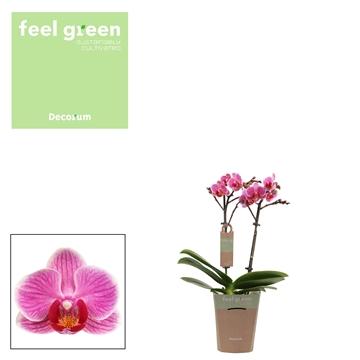 Phal. Amalion - 2 spike 9cm Feel Green