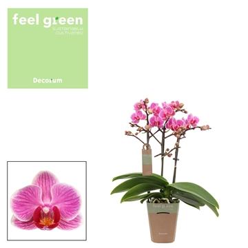 Phal. Amalion - 3 spike 9cm Feel Green