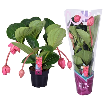 Medinilla magnifica Flamenco 2 etage 5 flower buds in X-clusive sleeve