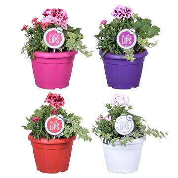 MoreLIPS® Spring trio in patiopot 'Maart Mix'