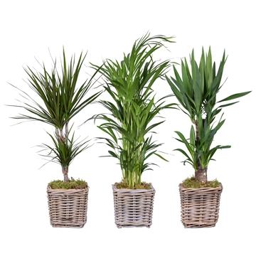 Kamerplanten 3 soorten mix in rotan mand