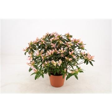 Rhododendron Azalea Pink Spider 17 cm