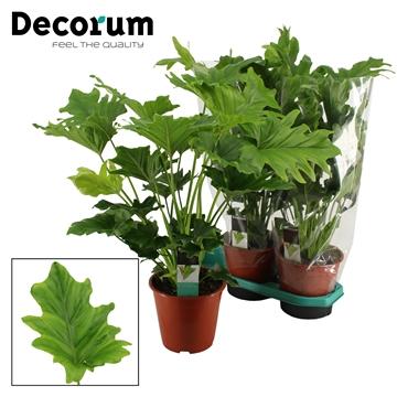 Philodendron Selloum Hope 19 cm DECORUM