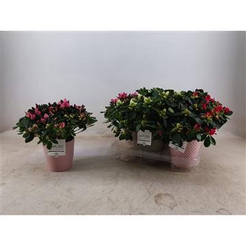 Azalea 12 cm  in Expression pot Roze/groen