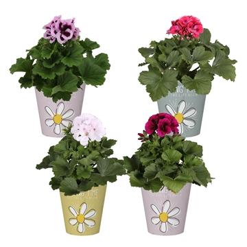 Pelargonium in Smartcup Spring Time