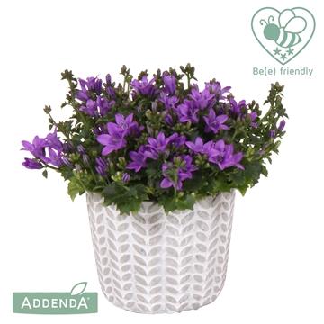 Campanula Ambella® intens purple in keramiek