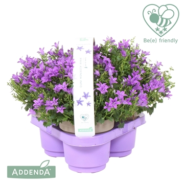 Campanula Ambella®intens purple in 3-pack