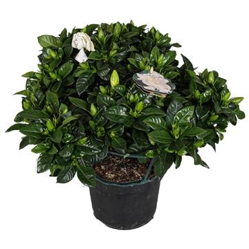 Gardenia 19 cm 50 + Knop!