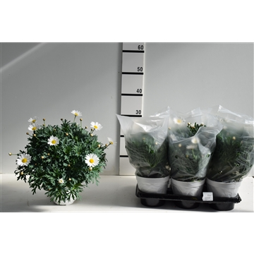Argyranthemum fructescens STELLA 2000 pot 14 cm