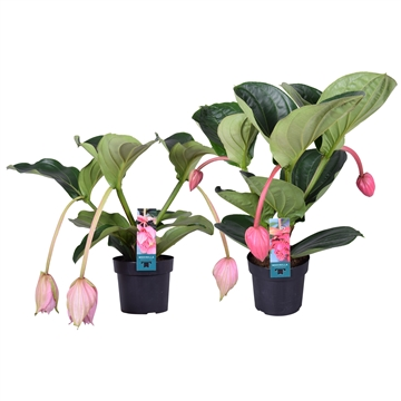Medinilla Luxe mix 2 etage 3/4 flower buds (2 types)