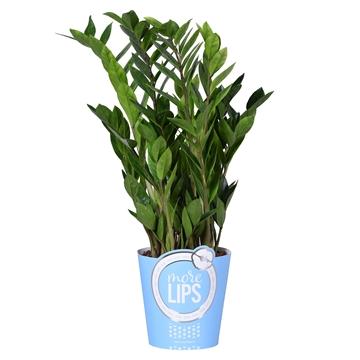 MoreLIPS® Zamioculcas Zamiifolia Zanzibar® 8+ in potcover blauw