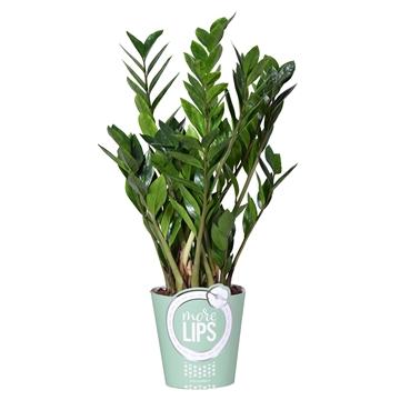 MoreLIPS® Zamioculcas Zamiifolia Zanzibar® 8+ in potcover groen
