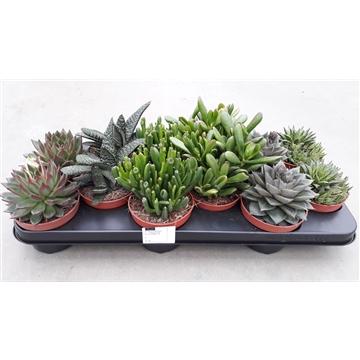 Succulenten mix 6 Soorten