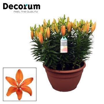 Lilium Az Matrix Oranje XL 15pp