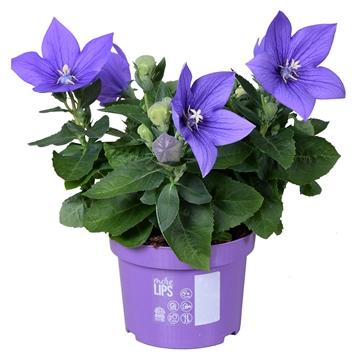 MoreLIPS® Platycodon grandiflorus 'Astra Blue'