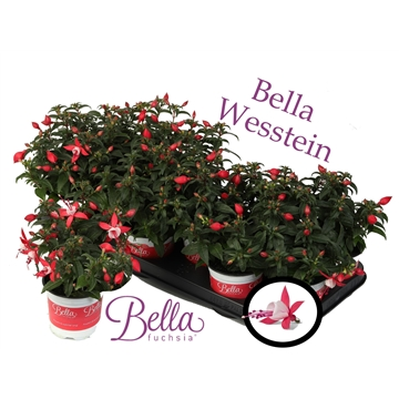 Bella Fuchsia 'Evita' ( Staand )