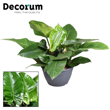 Philodendron Imperial Green (Decorum)
