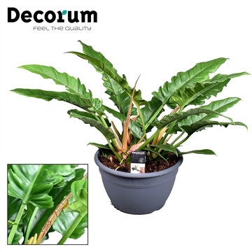 Philodendron Narrow Escape (Decorum)