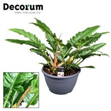 Philodendron Narrow Escape (Decorum)