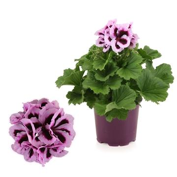Pelargonium Grandiflorum ''Patricia''