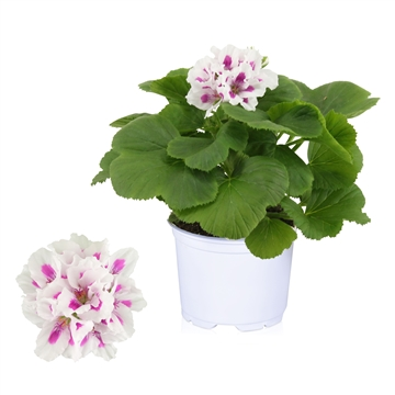 Pelargonium Grandiflorum ''Royalty White''