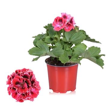 Pelargonium Grandiflorum ''Red Velvet''