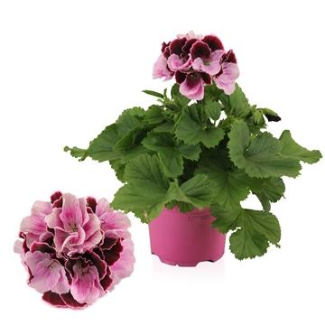 Pelargonium Grandiflorum ''Jeanette''