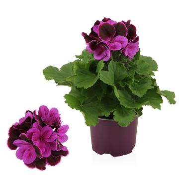 Pelargonium Grandiflorum ''Judith''
