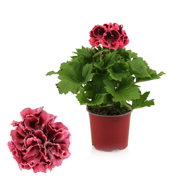 Pelargonium Grandiflorum ''Kate''
