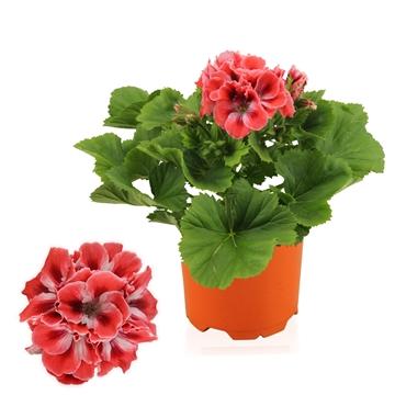 Pelargonium Grandiflorum ''Mandarin''