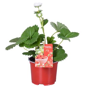 MoreLIPS® Fragaria Beltran in rode kweekpot