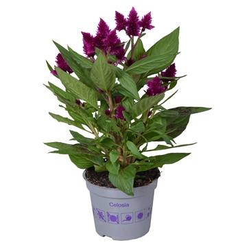 Celosia argentea Intenz Dark Purple zonder hoes