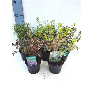 Pittosporum tenuifolium Mix (in 4-5 soorten)