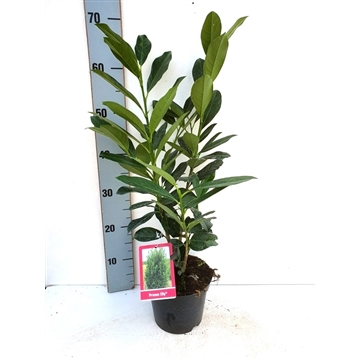 Prunus laurocerasus 'Elly ®'