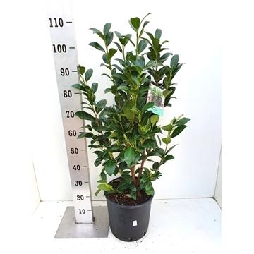 Prunus laurocerasus 'Obelisk ®'