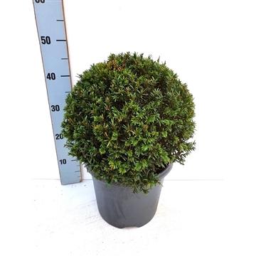 Taxus baccata BOL - Ø30/35 cm