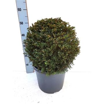 Taxus baccata BOL - Ø35/40 cm