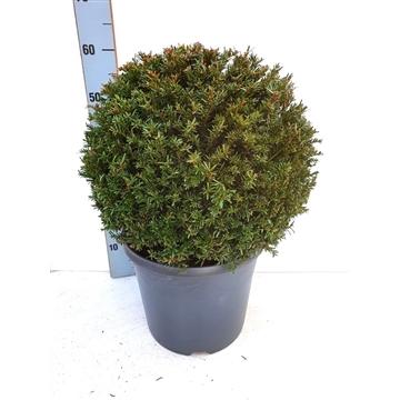 Taxus baccata BOL - Ø40/45 cm