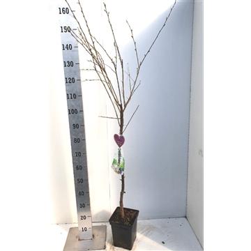 Prunus domestica 'Hanita®'