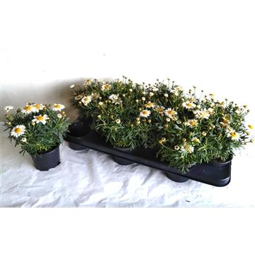 argyranthemum (margriet)