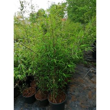 Fargesia nitida black Pearl Zwarte niet woekerende bamboe