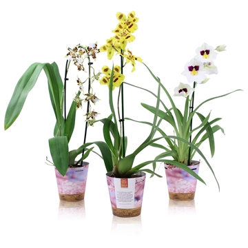 Inca Seasonal colour selections 'Spring Mix' 1 spike