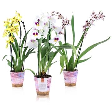 Inca Seasonal colour selections 'Spring Mix' 2 spike