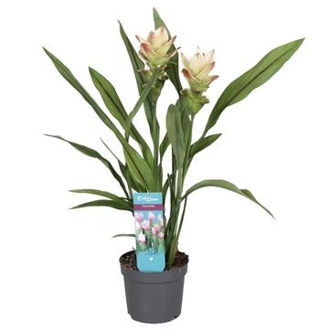 2 flower + Curcuma  Siam Solar 13 cm