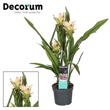 2 bloem + Curcuma  Siam Solar 13 cm