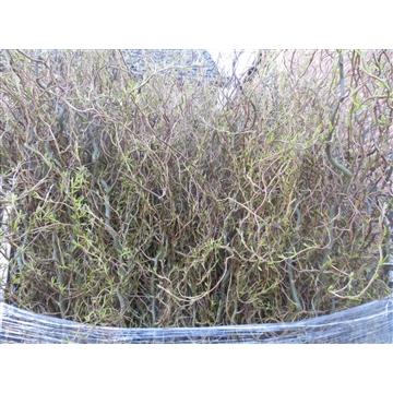Salix b Tortuosa