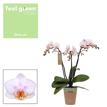 Phal. Neele 8 - 3 spike 9cm Feel Green