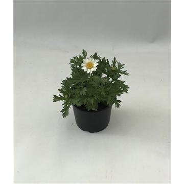 Chrysanthemum Paludosum, margriet P9